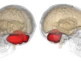 """Localisation du cervelet. Pour plus d'informations sur l'importance du cervelet, voir également ces articles. A noter cette remarque de Walter Bishop dans la série Fringe (saison 2, épisode 22) :   """"""""c'est notre cerveau primitif qui permet de passer d'un univers à l'autre. non seulement cela mais c'est le siège de nombreuses capacités paranormales"""" [27/03/2013 02:37:08] Jurian: woh, pile ça [27/03/2013 02:38:24] Jurian: """"nous étions tous dotés de ces capacités avant, jusqu'à un moment dans l'histoire, quelque chose nous a été fait, l'accès a été barré. L'oeuvre d'extraterrestres je présume."""""""